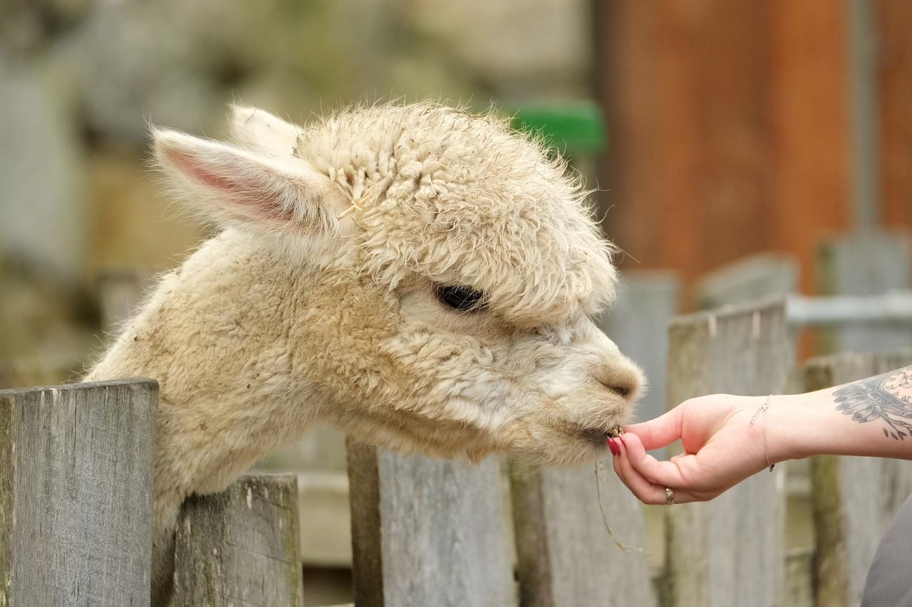 An alpaca nibbles out of a person's hand as it sticks its head over a fence.